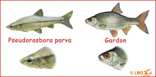 Comparaison entre le pseudorasbora et le gardon...